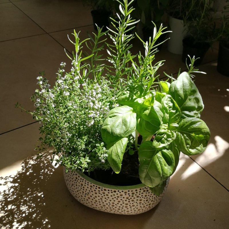 Prieskoninių augalų kompozicija keramikos vazoje